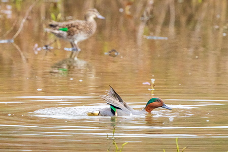 Green Winged Teal #4