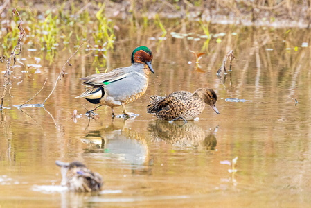 Green Winged Teal #2
